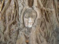 The most photographed Buddha I guess, the head in the tree. Actually it is smaller than you'd expect